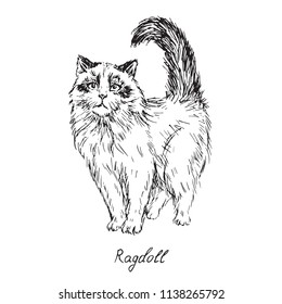 Ragdoll, cat breeds illustration with inscription, hand drawn doodle, sketch, outline black and white vector