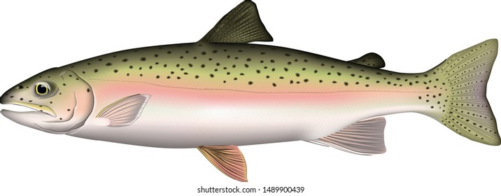 Rainbow trout illustration. Vector EPS format.