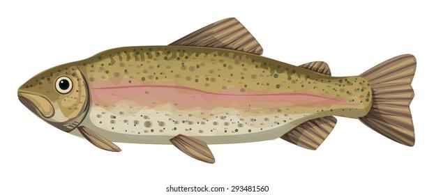 rainbow trout (Oncorhynchus mykiss), salmonid, fish vector illustration