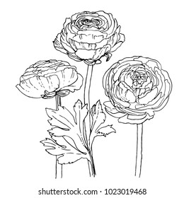 Ranunculus drawn by a black line on a white background. Vector sketch of a flower