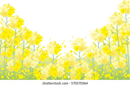 Rape blossom background