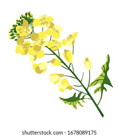 Rape blossom, flowering rapeseed canola or colza, blooming brassica napus yellow flower, oil seed, plant for oil industry and green energy. isolated, hand drawn vector illustration on white background