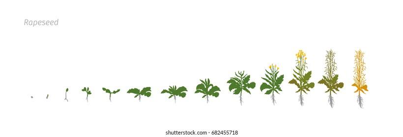 Rapeseed Brassica napus oilseed rape Growth stages vector illustration