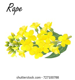 Rapeseed (Brassica napus, rape, colza, oil seed, canola). Realistic vector illustration of rapeseed or cabbage flowers on white background.
