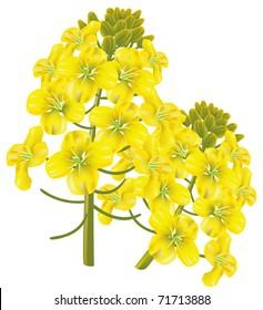 Rapeseed flower (Brassica napus). Vector illustration on white background.