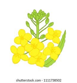 Rapeseed flowers. Vector illustration