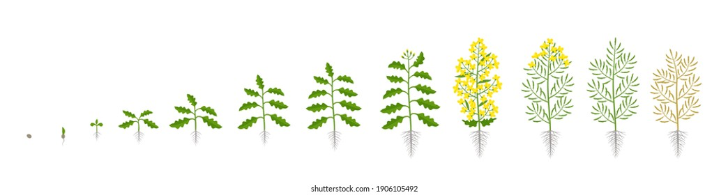 Rapeseed oilseed rape plant. Growth stages. Growing period steps. Brassica napus. Harvest animation progression. Fertilization phase. Cycle of life. Vector infographic set.
