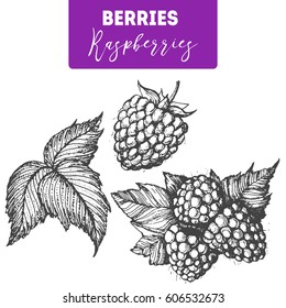 Raspberry hand drawn vector illustration set. Engraved food image.