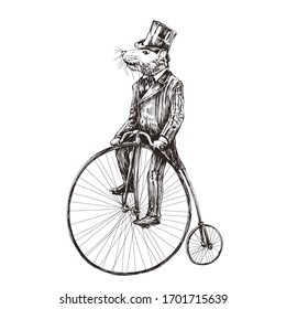 Rat in a tuxedo on a vintage bicycle. Engraving sketch vector style.