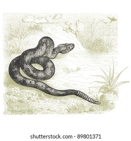 "Rattlesnake - vintage engraved illustration - ""Cent récits d'histoire naturelle"" by C.Delon published in 1889 France"