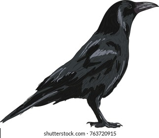 Raven vector drawing illustration