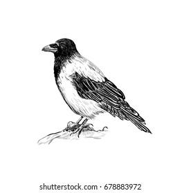 Raven vector illustration skech. Hand sketching bird crows. Design concept crow