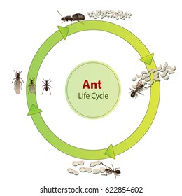 Ant Life Cycle Images Stock Photos Vectors Shutterstock