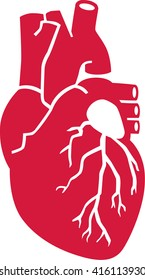 Real human heart organ