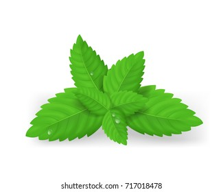 Realistic 3D Detailed Fresh Green Mint or Spearmint Leaves Aroma Spice Healthy Plant, Tea and Food. Vector illustration of Peppermint Leaf