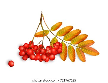 Realistic 3d mesh rowan branch isolated on a white background. Rowan branch with orange leaves and ashberry. Vector illustration