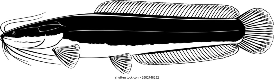 Realistic African sharptooth catfish in side view in black and white isolated illustration, one big freshwater fish Clarias gariepinus with long barbels and tail, bottom-dwelling fish for aquaculture