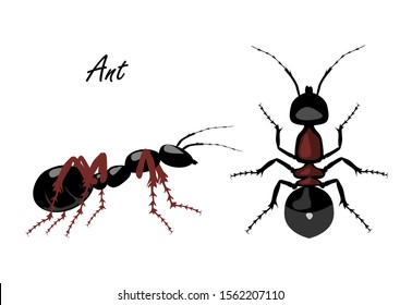 Realistic Ant top and side view isolated on white background. Vector illustration of realistic Ant. Can be used as Insect symbols.