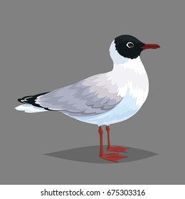 Realistic bird Seagull isolated on a grey background. Vector illustration of Black-headed Gull in realistic style. Element for your design, print, journal article and encyclopedia.