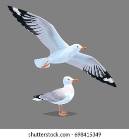 Realistic bird Seagull isolated on a grey background. Vector illustration of European Herring Gull for your journal article or encyclopedia. Element for your design. Flying and standing bird.