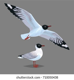 Realistic bird Seagull standing and flying isolated on a grey background. Vector illustration of realistic bird Black-Headed Gull for your journal article or encyclopedia.