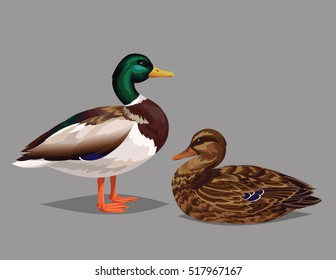 Realistic birds Wild Ducks isolated on a grey background. Vector illustration of realistic male and female birds Mallard for your design, journal article and encyclopedia. Wild Ducks Couple.