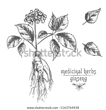 Realistic botanical ink sketch ginseng root stock vector royalty realistic botanical ink sketch of ginseng root flowers and berries isolated on white background mightylinksfo