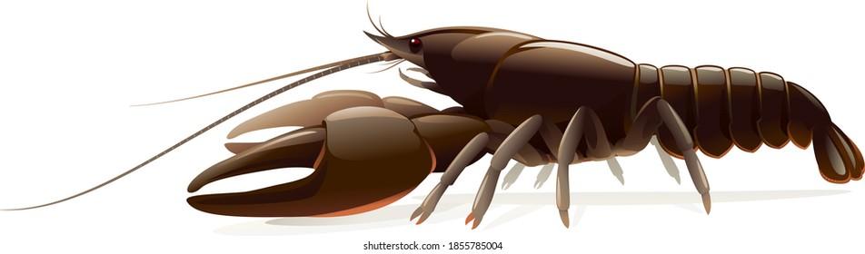 Realistic broad-fingered crayfish isolated illustration, one big freshwater Noble crayfish on side view