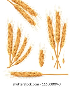 Realistic bunch of wheat ears with dried whole grains. Natural ingredient elements, agriculture, organic farming, and healthy food. Vector illustration