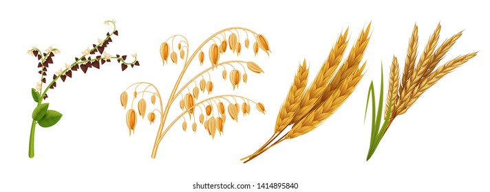 Realistic cereals. Oat wheat rice and barley ears, 3D agricultural healthy food and harvest seeds. Vector isolated grains crops set