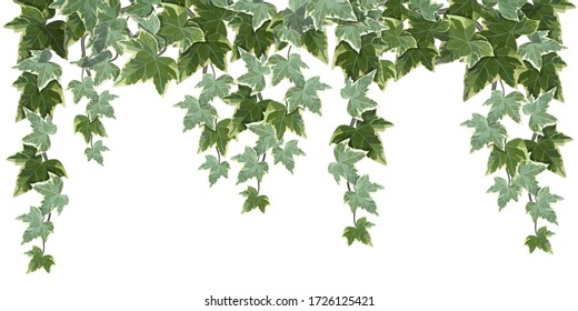 Realistic common ivy vine on white background vector illustration
