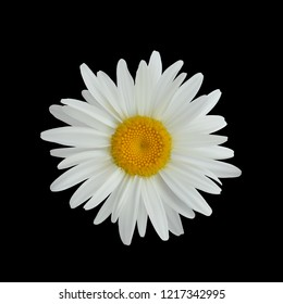 Realistic daisy flower isolated on dark background close up. Eps 10 vector.