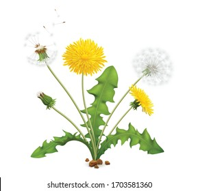 Realistic dandelions set with view of whole plant with stalk leaves and flowers with flying feathers vector illustration