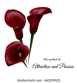 Realistic dark red calla lily. The symbol of Attraction and Passion.