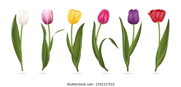 Realistic Detailed 3d Colorful Tulips Buds Set for Bouquet or Decoration. Vector illustration of Tulip Flower