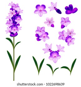 Realistic Detailed 3d Lavender Flowers Set Natural Bunch Herb for Aromatherapy Symbol of Provence. Vector illustration of Flower