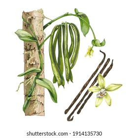 realistic drawing, botanical illustration of vanilla orchid plant, sweet aromatic fresh vanilla flower with dried seed pods and leaves set closeup isolated on white background, distinctive taste, fore