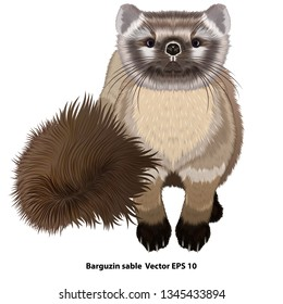 Realistic drawing of a sitting Barguzin sable, isolated, without background. Vector illustration