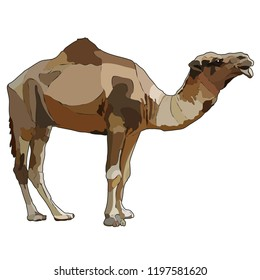 Realistic dromedary, one-humped camel. Vector illustration isolated on white background, EPS 10