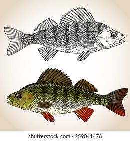Realistic fish - a freshwater perch. Set of two fishes: colored and black and white versions. Vector illustration.