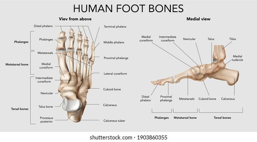 Realistic foot bones anatomy infographic composition with top and side views of footstep skeleton with text vector illustration