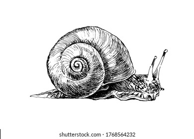 Realistic grape snail isolated. Detailed garden cochlea black and white sketch. Hand drawn snail silhouette with radial shell on white background. Slippery mollusk used for food.