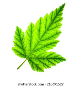 Realistic green leaf, isolated on white