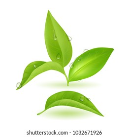 Realistic Green Young Tea Leaves. vector Illustration