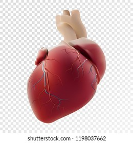 Realistic Heart. Photorealistic vector layout of a human organ