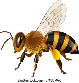 Realistic honey bee vector illustration