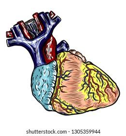 Realistic human heart. Vintage style hand drawing. Cartoonish flash tattoo design engraving. Vector.