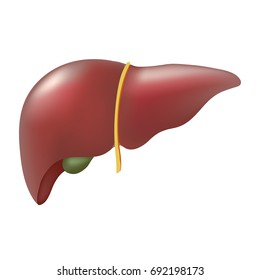 Realistic human liver isolated on white background.