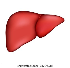 Realistic human liver. Vector medical illustration. Medicine anatomy, organ human, health and biology