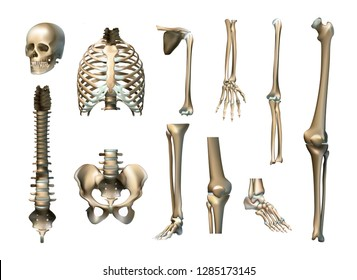 Realistic human skeleton parts set with skull spine scapula bones of pelvis and limbs isolated vector illustration. Vector